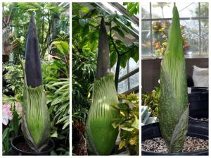 Collage of the stages of the corpse flower blooming.